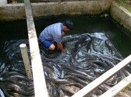 Lucas Layuk dan Ikan Lele