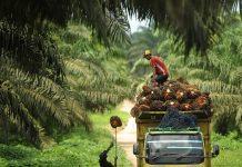 Pekerja mengangkut sawit ke dalam truk di kawasan perkebunan sawit PT Wanasawit Subur Lestari 2, Kalimantan Tengah, Sabtu (19/12). Kamar Dagang dan Industri (KADIN) meminta Otoritas Jasa dan Keuangan mengevaluasi kebijakan tentang Bank Berkelanjutan yang rencananya dimulai Januari 2016 karena dinilai mempersulit perusahaan sawit memperoleh kredit atau pembiayaan perbankan. ANTARA FOTO/Puspa Perwitasari/aww/15.